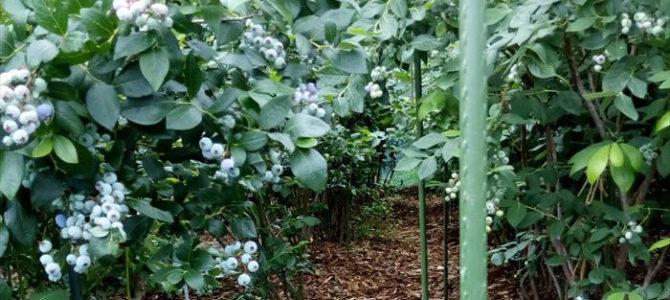 樹勢の強いブルーベリー
