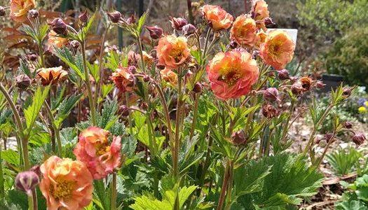 ゲウムマイタイ、リキュウバイ ~里よりも2週間ほど遅いガーデンリアンのお花たち~