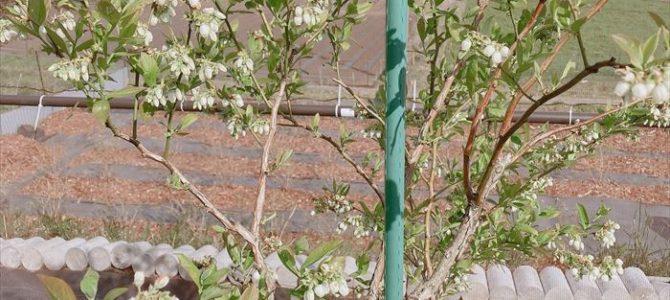 ブルーベリーのお花が咲いています 今年はえひめAI2を試してみます!