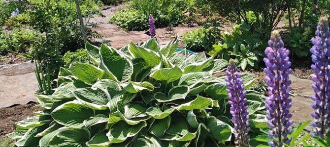 ハクロニシキ、メリティス、都忘れ、ティアレア、ルピナス ~宿根草が次々に咲いてきました ガーデンリアン