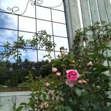 バラが次々に咲いてきました~DIYウッドフェンスもいい感じです(^^♪