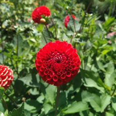 ガーデンリアンのお花たち ~クランべコーディフォリア~